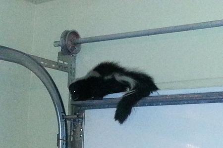 Skunk Bait Wildlife Control Skunk In Garage