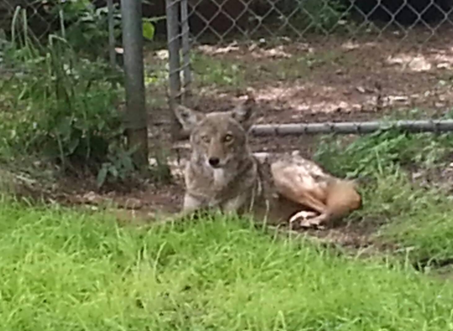 Coyote In Yard