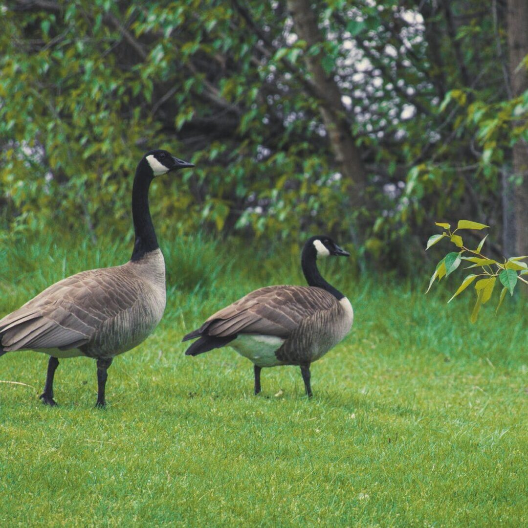 Goose Round Up